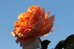 Czułość róża w słońcu zdjęcie stock