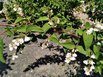 Czuły biały lato kwitnie w kontrasta HDR trybie obrazy royalty free