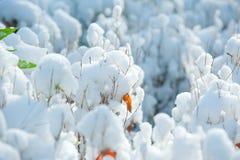 Czuły pączek w śniegu obrazy royalty free