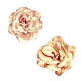 Czuły Pastelowych menchii róży kwiat odizolowywający Zdjęcia Royalty Free