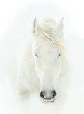 Czuły portret biały końskiej głowy zakończenie up Obraz Stock