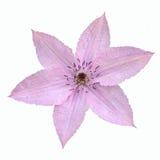 Czuły różowy clematis kwiat odizolowywający na białym tle Fotografia Stock
