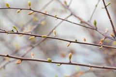 Czuły wiosny natury krajobrazu drzewo kapuje, pączki i świezi liście Piękny pastelowych kolorów tło Płytka głębia Zdjęcie Royalty Free