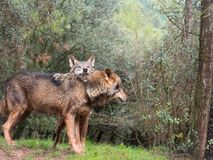 Czuła para iberian wilki Zdjęcie Stock
