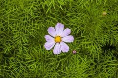 Czuły lily Kosmeya Zdjęcie Stock