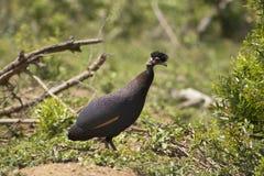 Czubata gwinea w afrykanina krajobrazie Obraz Royalty Free