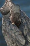 czubata kormoran kopia Zdjęcia Royalty Free