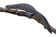 Czubata traszka, Triturus cristatus, Zdjęcia Royalty Free