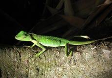 czubata zielona jaszczurka Zdjęcia Stock