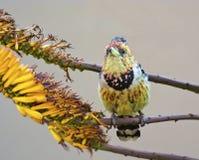 Czubaty barbet na aloesu kwiacie zdjęcie stock