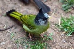 Czubaty Finchbill (Spizixos canifrons) Zdjęcia Royalty Free