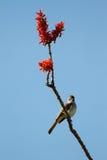 Czubaty Flycatcher, Myiarchus tyrannulus Obraz Royalty Free