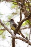 Czubaty Flycatcher Umieszczający w drzewie Zdjęcia Royalty Free