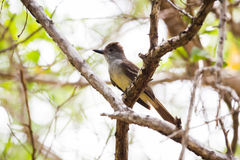 Czubaty Flycatcher Umieszczający w drzewie Zdjęcie Royalty Free