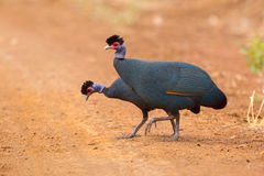 Czubaty Guineafowl, Guttera pucherani - Fotografia Royalty Free