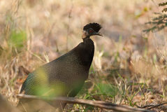 Czubaty Guineafowl portret Zdjęcie Royalty Free