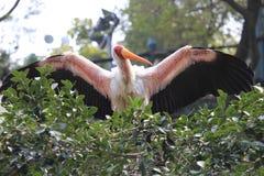 Czubaty ibis na drzewie zdjęcia royalty free