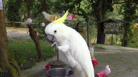 Czubaty kakadu łasowania park zbiory