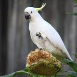 Czubaty kakadu łasowanie Zdjęcia Royalty Free