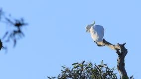 Czubaty kakadu, Cacatua galerita, umieszczał w drzewie zdjęcie wideo