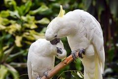 czubaty kakadu kolor żółty fotografia royalty free