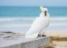 czubaty kakadu na Pyknicznym stole Zdjęcia Stock