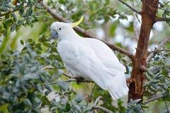 Czubaty kakadu siedzi na gałąź obraz stock