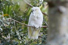 Czubaty kakadu siedzi na gałąź zdjęcie royalty free