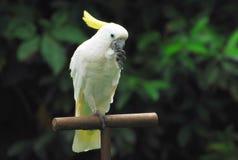 czubaty kakadu sulphur Obrazy Royalty Free