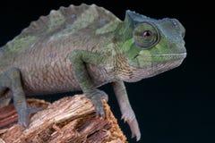 Czubaty kameleon, Trioceros cristatus/ Obraz Royalty Free
