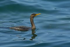 Czubaty kormoran na Jeziornym Ontario Fotografia Royalty Free
