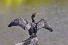 Czubaty kormoran Suszy skrzydła na beli fotografia royalty free
