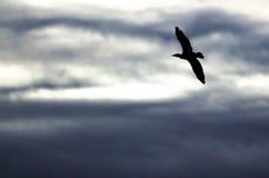 czubaty kormoran Sylwetkowy w wieczór niebie Gdy Ono Lata obraz royalty free