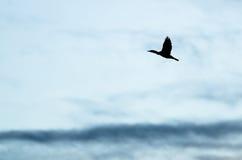 czubaty kormoran Sylwetkowy w wieczór niebie Gdy Ono Lata obrazy royalty free