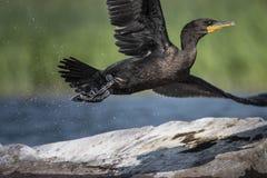 Czubaty kormoranu latanie blisko wyspy Lawrance rzeka obraz stock