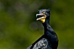 Czubaty kormoranu portret z miękkim tłem obrazy stock