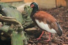 Czubaty Madagascar ibis zdjęcie royalty free