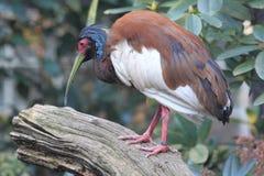 Czubaty Madagascar ibis fotografia stock
