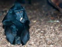 czubaty makak Sulawesi Zdjęcia Royalty Free