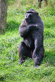 czubaty makak Sulawesi Fotografia Royalty Free