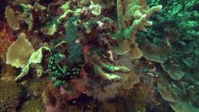 Czubaty nembrotha Nembrotha cristata w koralu na Apo wyspie zbiory wideo