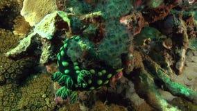 Czubaty nembrotha Nembrotha cristata w koralu na Apo wyspie zbiory