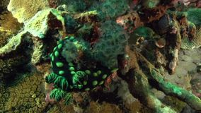 Czubaty nembrotha Nembrotha cristata w koralu na Apo wyspie zdjęcie wideo