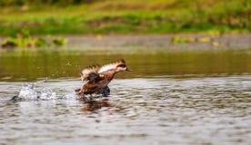Czubaty Pochard, emigracyjna, ptasia, Nurkowa kaczka, Zdjęcie Royalty Free