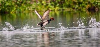 Czubaty Pochard, ptak, Nurkowa kaczka, Rhodonessa rufina, takin Obraz Royalty Free