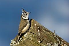 Czubaty Tit na krawędzi (Parus cristatus) Fotografia Stock