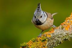 Czubaty Tit obsiadanie na pięknej liszaj gałąź z jasnym żółtym tłem ptak w natury siedlisku Szczegółu portret zdjęcie stock