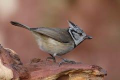 Czubaty Tit reklamuje słonecznikowych ziarna blisko ptasich dozowników obraz stock