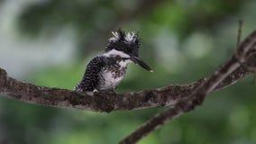 Czubaty zimorodka ptak w Tajlandia i Azja Południowo-Wschodnia zdjęcie wideo