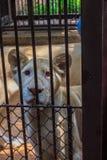 Czuje politowanie młody biały lew w klatce obraz stock